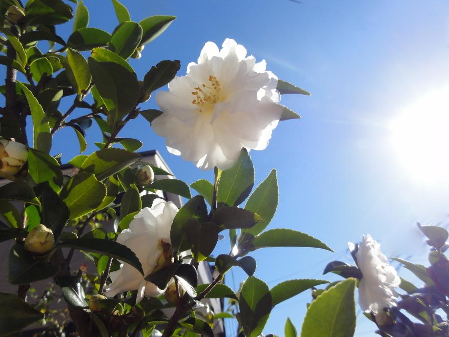 Pure White Cosmetics - Ingredient Spotlight: Camellia Oil
